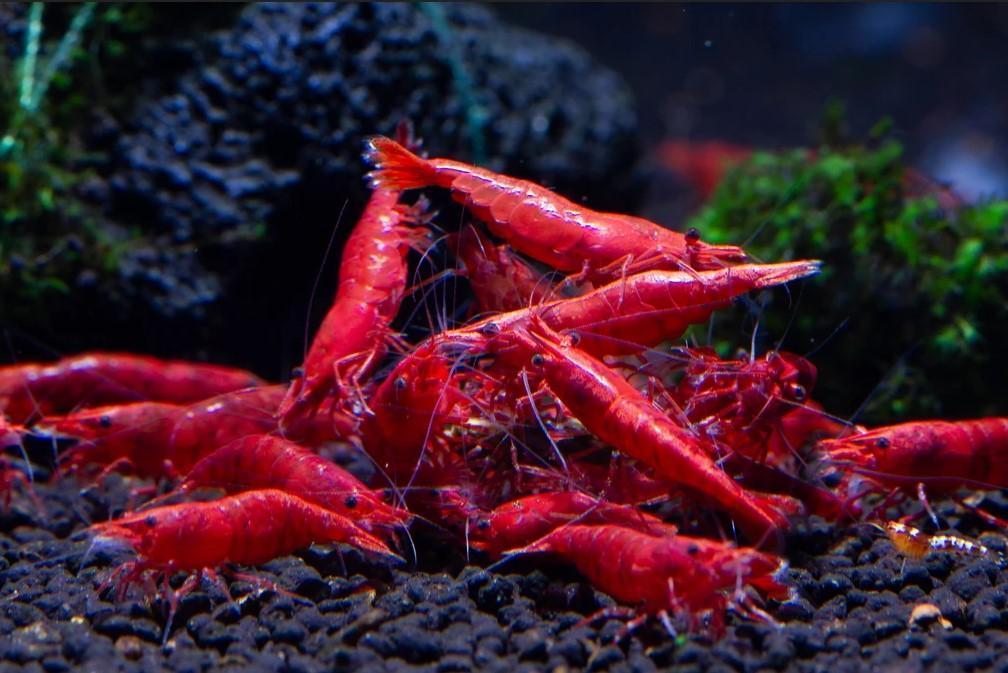 Tép đỏ fire red, supper red cherry, sakura shrimp